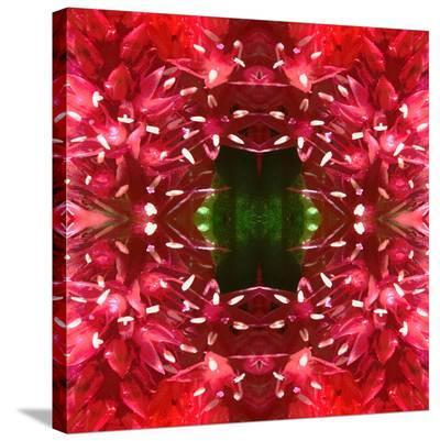 Celosia-Rose Anne Colavito-Stretched Canvas Print