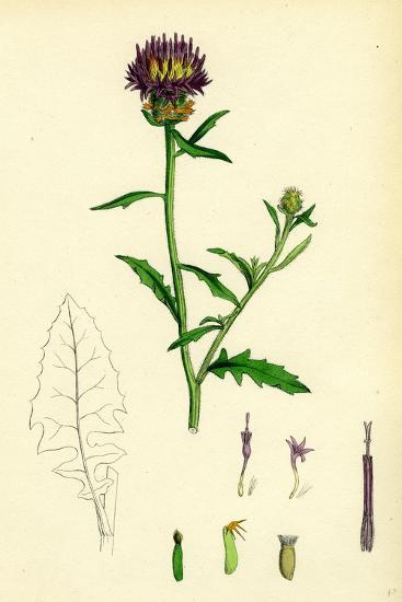 Centaurea Aspera Rough Star-Thistle--Giclee Print