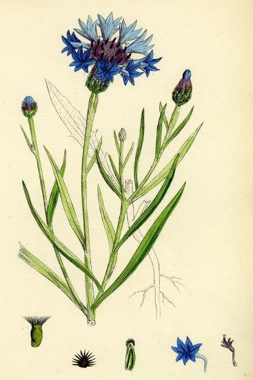 Centaurea Cyanus Blue-Bottle--Giclee Print