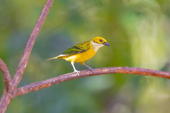 Central America, Costa Rica. Male silver-throated tanager in tree.-Jaynes Gallery-Photographic Print