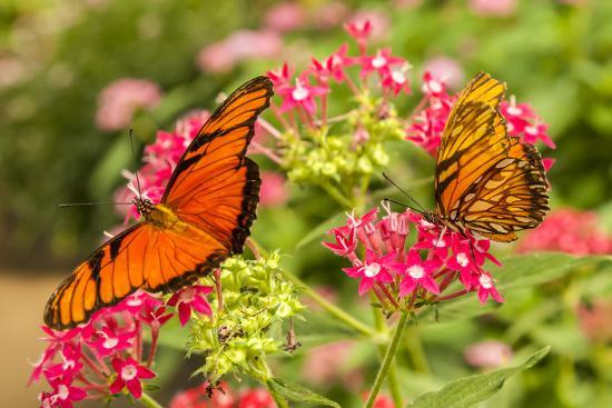 Central America, Costa Rica, Monteverde Cloud Forest Biological Reserve. Butterflies on Flower-Jaynes Gallery-Photographic Print