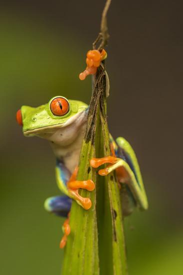 Central America, Costa Rica. Red-Eyed Tree Frog Close-Up-Jaynes Gallery-Photographic Print