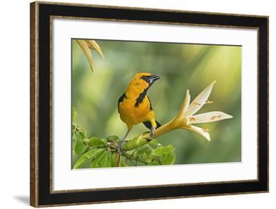 Central America, Yucatan, Mexico. Altamira Oriole in Tabebuia or Caribbean Trumpet Tree-David Slater-Framed Photographic Print