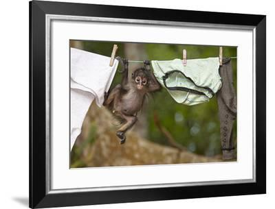 Central American Spider Monkey (Ateles Geoffroyi) Orphan Baby Hanging from Washing Line-Claudio Contreras-Framed Photographic Print