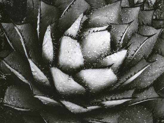 Century Plant, c. 1975-Brett Weston-Photographic Print