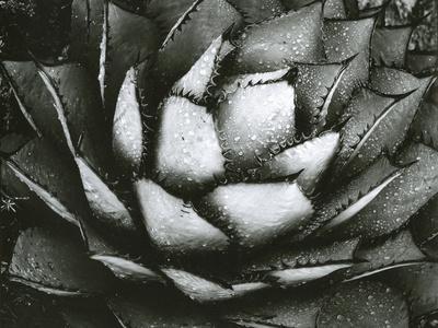 https://imgc.artprintimages.com/img/print/century-plant-c-1975_u-l-q1g6jy20.jpg?p=0
