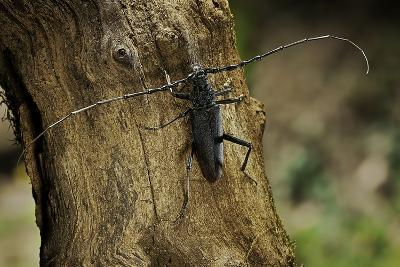 Cerambyx Cerdo (Great Capricorn Beetle)-Paul Starosta-Photographic Print