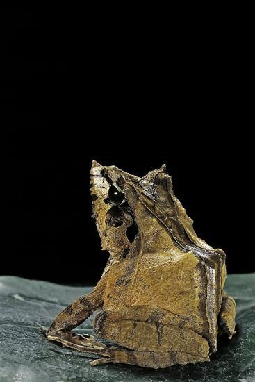 Ceratobatrachus Guentheri (Gunther's Triangle Frog)-Paul Starosta-Photographic Print