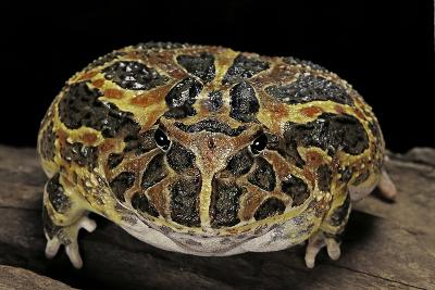 Ceratophrys Ornata (Ornate Horned Frog, Escuerzo)-Paul Starosta-Photographic Print