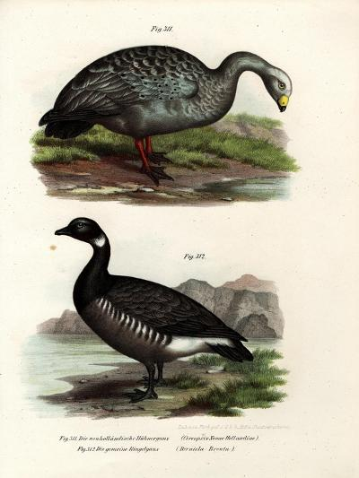 Cereopsis Goose, 1864--Giclee Print