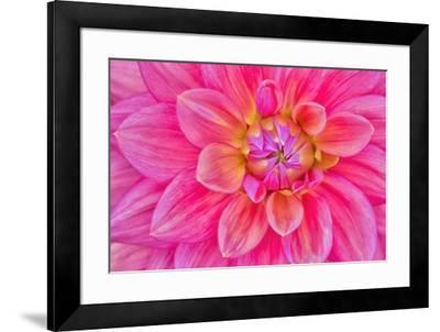 Cerise-Pink Dahlia Flower-Cora Niele-Framed Giclee Print