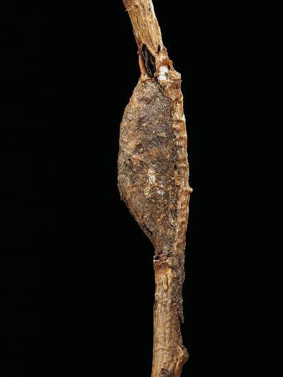 Cerura Vinula (Puss Moth) - Cocoon-Paul Starosta-Photographic Print
