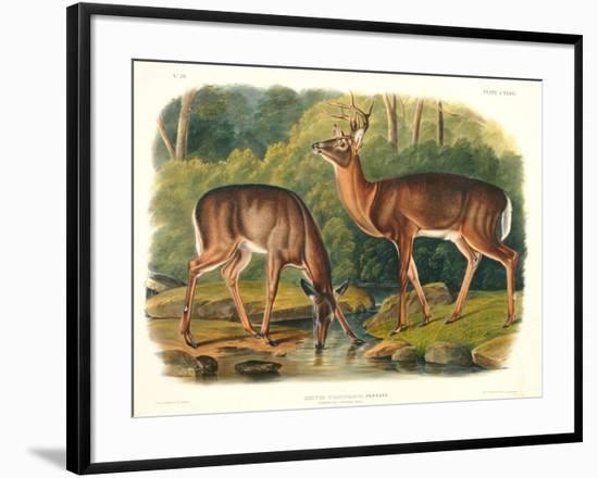 Cervus Virginianus (Common or Virginian Deer), Plate 136 from 'Quadrupeds of North America',…-John Woodhouse Audubon-Framed Premium Giclee Print