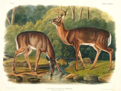 https://imgc.artprintimages.com/img/print/cervus-virginianus-common-or-virginian-deer-plate-136-from-quadrupeds-of-north-america_u-l-pldhrl0.jpg?artPerspective=n