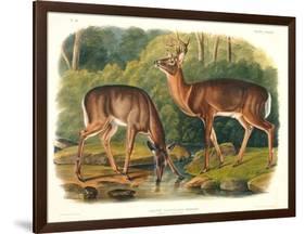 Cervus Virginianus (Common or Virginian Deer), Plate 136 from 'Quadrupeds of North America',…-John Woodhouse Audubon-Framed Giclee Print