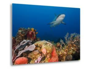 A Caribbean Reef Shark, with Attached Remora, Swims in Waters Off Roatan Island by Cesare Naldi
