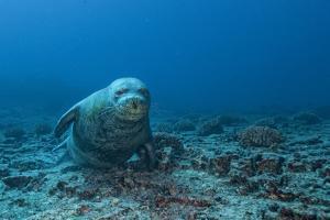A Critically Endangered Monk Seal by Cesare Naldi