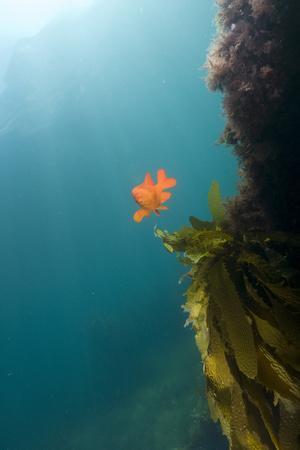 A Garibaldi Fish Swims in a Bed of Kelp