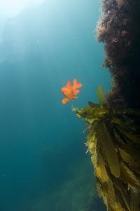 A Garibaldi Fish Swims in a Bed of Kelp by Cesare Naldi