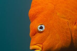 A Garibaldi Fish by Cesare Naldi