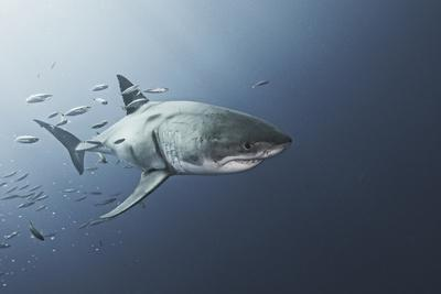 A Great White Shark Swims in Waters Off Guadalupe Island