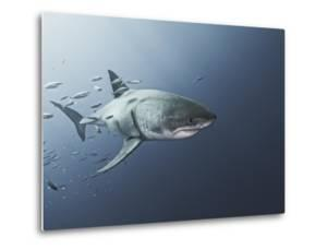 A Great White Shark Swims in Waters Off Guadalupe Island by Cesare Naldi