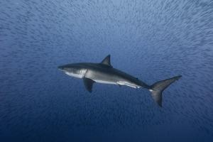 A Great White Shark Swims in Waters Off Isla Guadalupe by Cesare Naldi