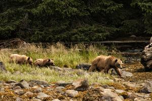A Grizzly Bear Family Foraging Among Rocks at Low Tide by Cesare Naldi