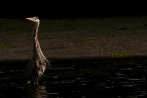 A Heron Wades in Pedder Bay by Cesare Naldi