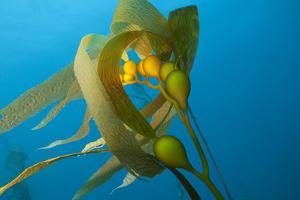 A Kelp Stem by Cesare Naldi