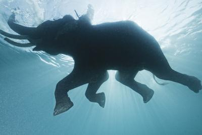 A Mahout, Rides Rajan the Elephant, While it Swims in the Andaman Islands