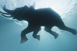 A Mahout, Rides Rajan the Elephant, While it Swims in the Andaman Islands by Cesare Naldi