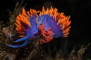 A Nudibranch Laying Eggs by Cesare Naldi