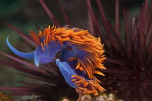 A Nudibranch Trapped by a Sea Urchin by Cesare Naldi