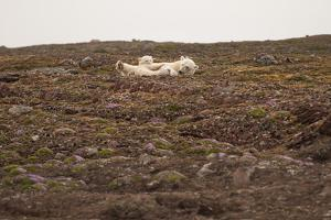 A Polar Bear Rests with Her Cub by Cesare Naldi
