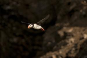 A Puffin in Flight by Cesare Naldi