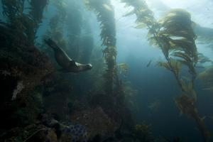 A Sea Lion Swims in a Bed of Kelp by Cesare Naldi