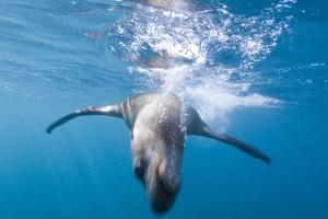 A Sea Lion Swims Off Santa Barbara Island by Cesare Naldi