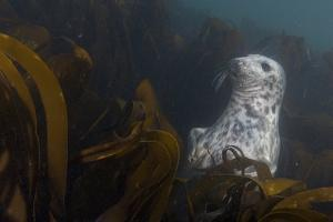 A Seal Swims in a Bed of Kelp Off the Farne Islands by Cesare Naldi