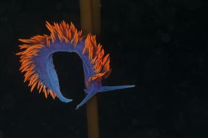 A Toxic Nudibranch on Kelp by Cesare Naldi