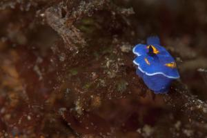 A Toxic Nudibranch by Cesare Naldi