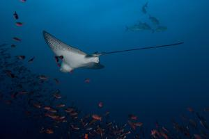 An Eagle Ray Swims with a School of Creole Fish by Cesare Naldi