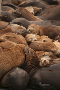 Sea Lions Sleep at Moss Landing on the Shore of Monterey Bay by Cesare Naldi