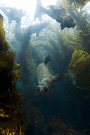 Sea Lions Swim in a Bed of Kelp Off Santa Barbara Island
