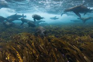 Sea Lions Swim in a Bed of Kelp Off Santa Barbara Island by Cesare Naldi