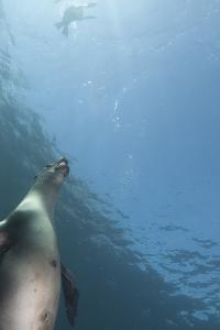Sea Lions Swim Off Santa Barbara Island by Cesare Naldi