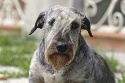 Cesky Terrier Dog--Photographic Print