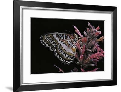 Cethosia Biblis (Lacewing Butterfly, Red Lacewing)-Paul Starosta-Framed Photographic Print