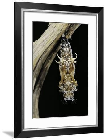 Cethosia Hypsea (Malay Lacewing)- Pupa-Paul Starosta-Framed Photographic Print