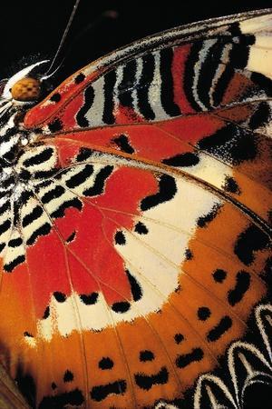 https://imgc.artprintimages.com/img/print/cethosia-hypsea-malay-lacewing-wings-detail_u-l-pzs6zj0.jpg?p=0